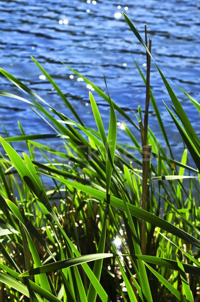 Reeds at water edge Stock photo © elenaphoto