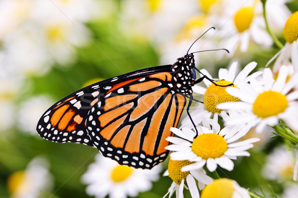 Monarch butterfly on flower Stock photo © elenaphoto