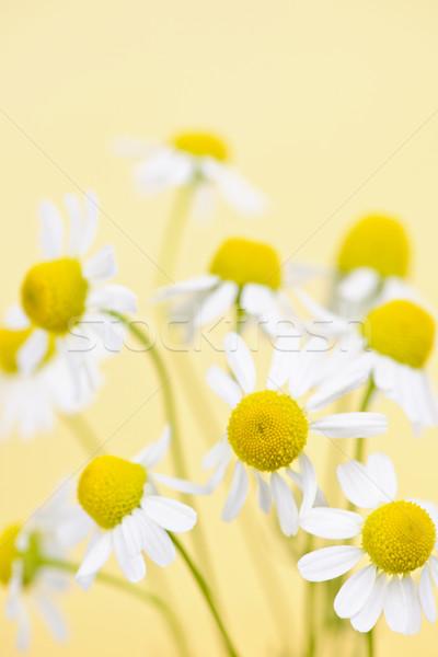 Chamomile flowers close up Stock photo © elenaphoto