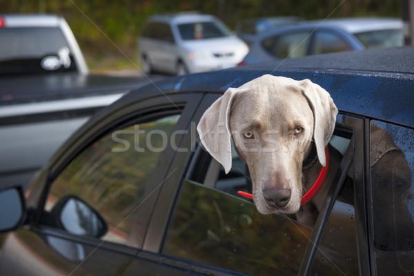 Dog waiting in car Stock photo © elenaphoto