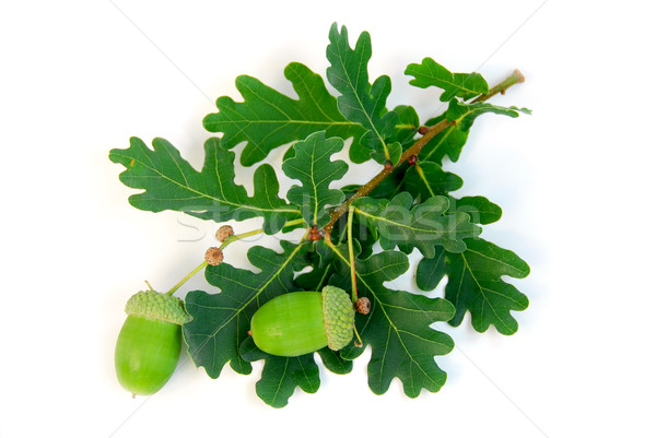 Acorns oak branch Stock photo © elenaphoto