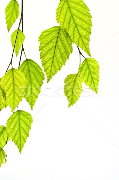 支店 緑の葉 孤立した 白 自然 ストックフォト © elenaphoto
