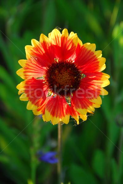 Dziki kwiat indian koc późno popołudnie Zdjęcia stock © elenaphoto
