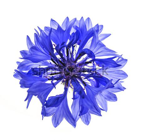 Blue cornflower flower Stock photo © elenaphoto