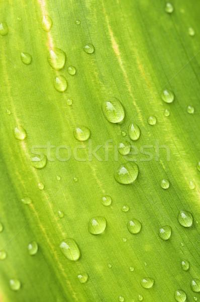 Foglia verde gocce di pioggia naturale verde impianto foglia Foto d'archivio © elenaphoto
