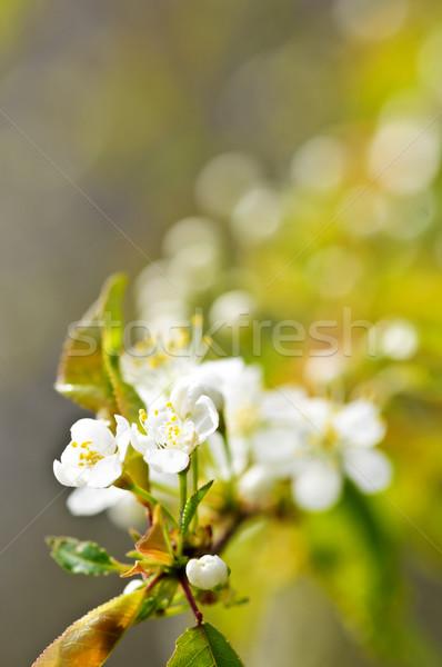 Gentle white spring flowers Stock photo © elenaphoto