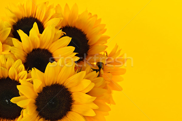 Zonnebloemen boeket zonnebloem bloemen Geel zon Stockfoto © elenaphoto