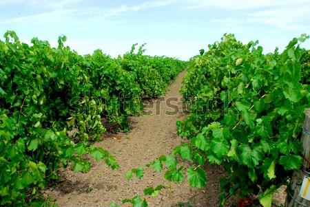 Vinha verde vines céu sol folha Foto stock © elenaphoto