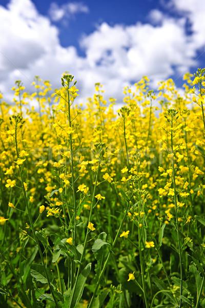 Stock photo: Canola plants in field