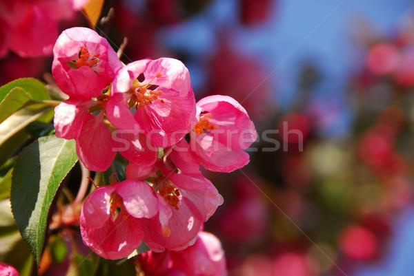 Elma çiçek pembe bahar Stok fotoğraf © elenaphoto