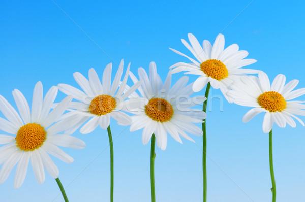 Сток-фото: Daisy · цветы · синий · голубой · небе