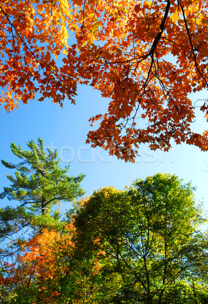 Autumn trees Stock photo © elenaphoto