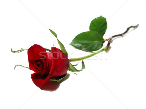 Rood rose witte mooie geïsoleerd vrouw bloem Stockfoto © elenaphoto