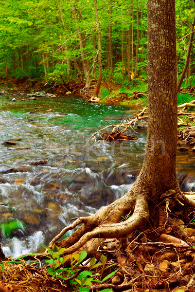 Forest river Stock photo © elenaphoto