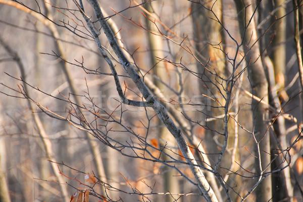 Winter forest Stock photo © elenaphoto