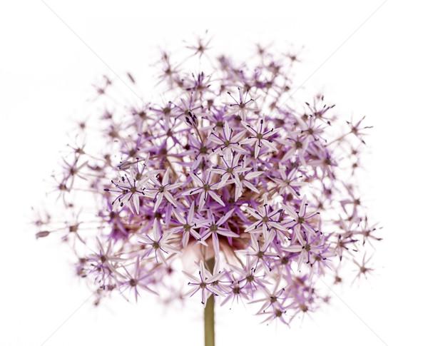 цветения лука розовый Purple цветок изолированный Сток-фото © elenaphoto
