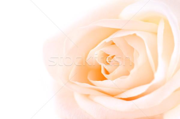 Delicate beige rose Stock photo © elenaphoto