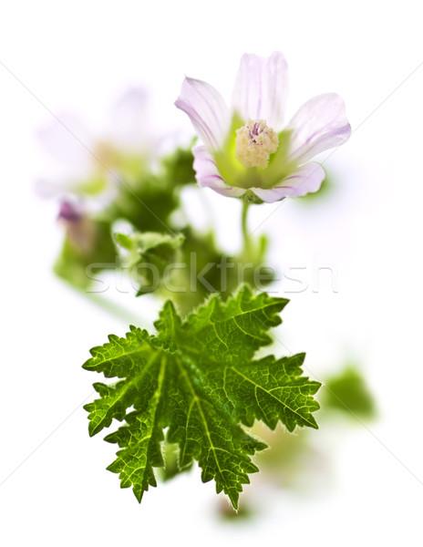 Wildflower on white background Stock photo © elenaphoto