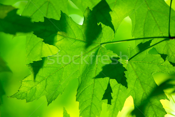 Green maple leaves macro Stock photo © elenaphoto