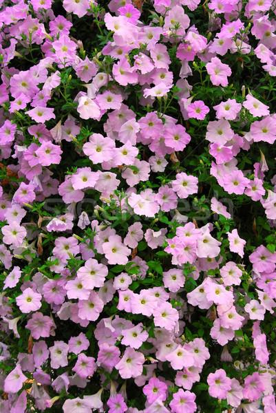 Petunia wall Stock photo © elenaphoto