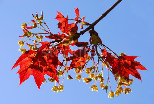 Maple branch Stock photo © elenaphoto