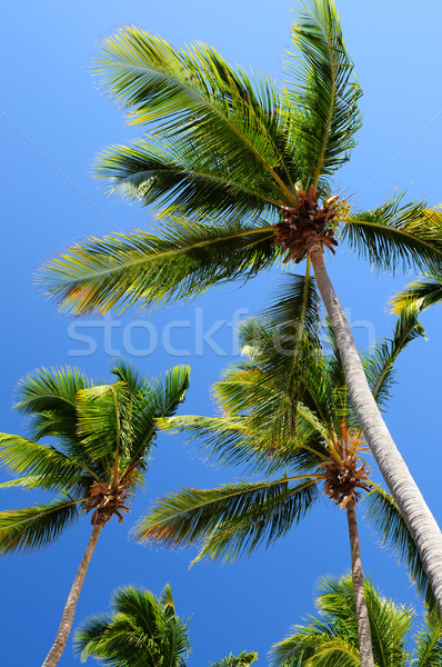 Palms on blue sky background Stock photo © elenaphoto