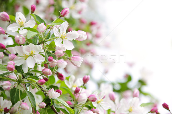 Apple blossoms background Stock photo © elenaphoto