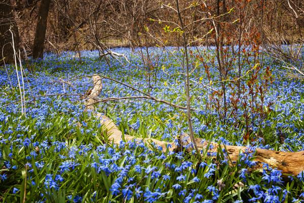 Tavasz kék virágok szőnyeg korai virágzó Stock fotó © elenaphoto