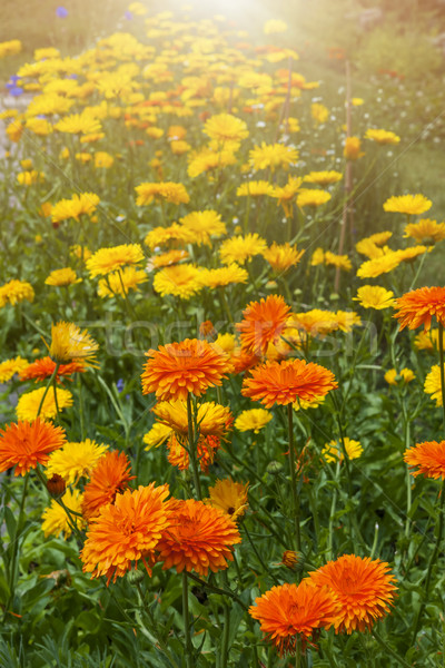 Calendula flowers in garden Stock photo © elenaphoto