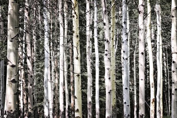 Aspen tree trunks Stock photo © elenaphoto