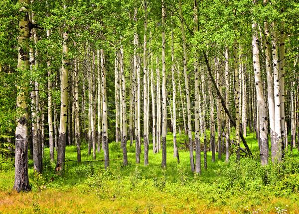 Aspen trees in Banff National park Stock photo © elenaphoto
