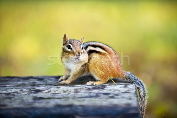 Chipmunk recheado bochecha bonitinho um Foto stock © elenaphoto
