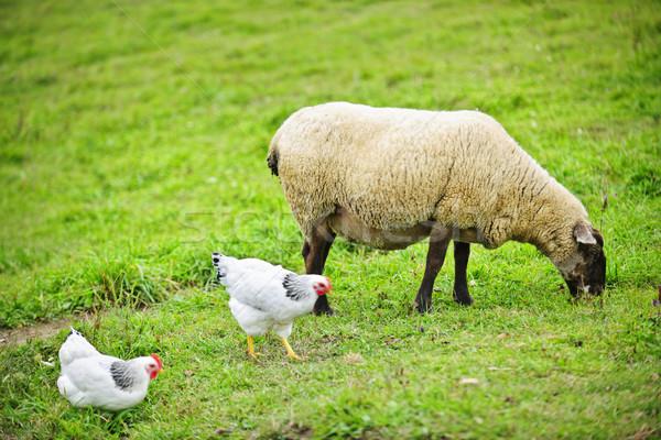 Сток-фото: овец · фермы · небольшой · масштаба · Устойчивое · весны