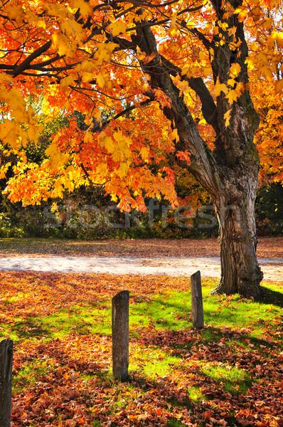 Zdjęcia stock: Jesienią · klon · drzewo · drogowego · kolorowy · spadek