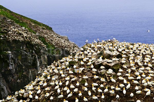 Gannets at Cape St. Mary's Ecological Bird Sanctuary Stock photo © elenaphoto