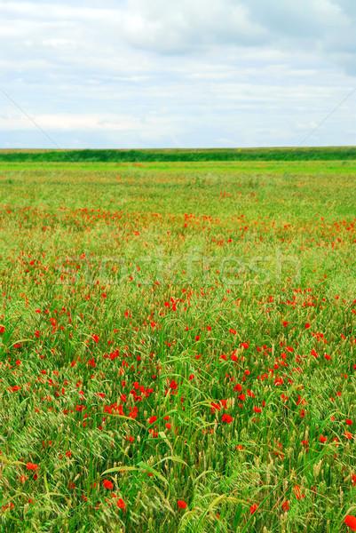 Pipacs mező égbolt virágok természet zöld Stock fotó © elenaphoto