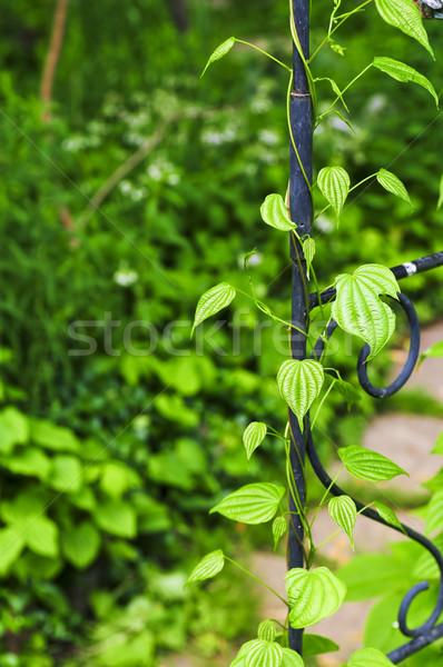 Vine on wrought iron arbor Stock photo © elenaphoto