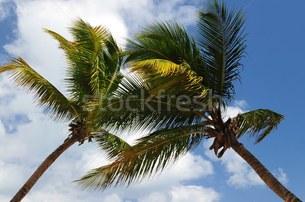 Palm trees Stock photo © elenaphoto