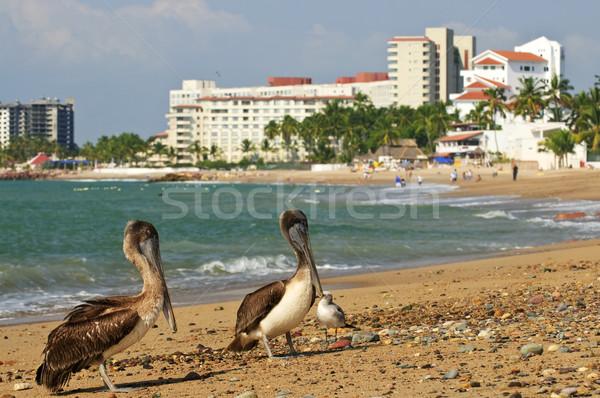 Pelicans on beach in Mexico Stock photo © elenaphoto