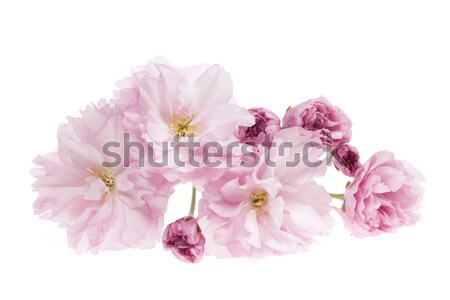 Stock photo: Cherry blossoms isolated