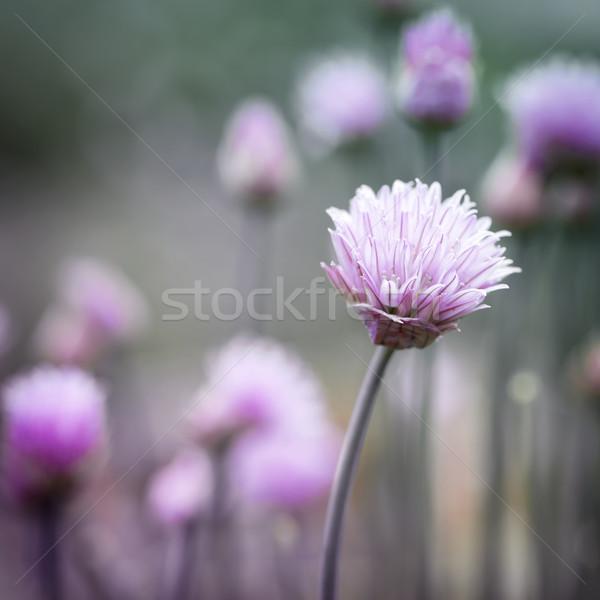 Erba cipollina fioritura viola fiori giardino piazza Foto d'archivio © elenaphoto