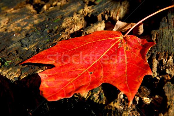 Zdjęcia stock: Liścia · czerwony · starych · drzewo · drewna · lasu