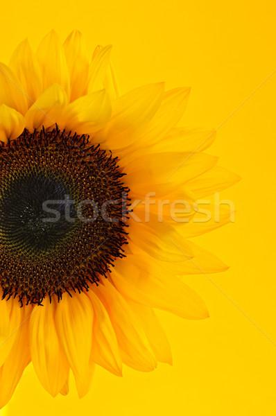 Sunflower closeup Stock photo © elenaphoto