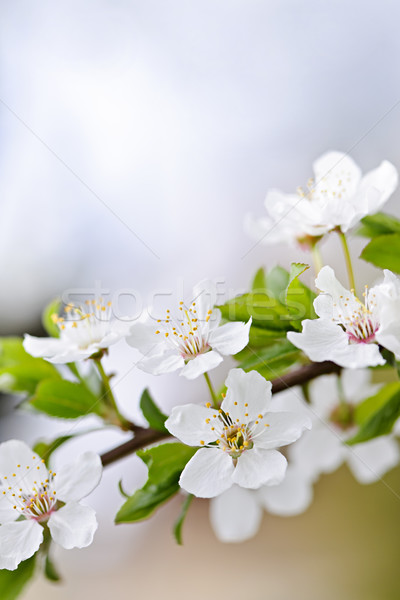 White cherry blossom flowers Stock photo © elenaphoto