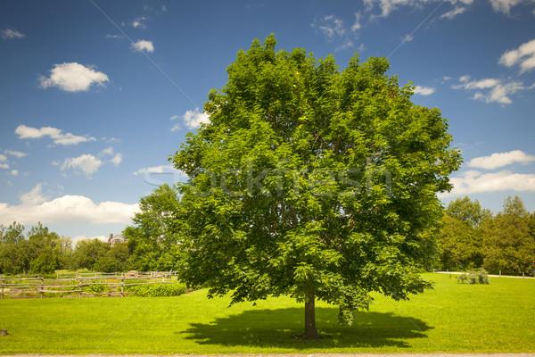Stock photo: Maple tree in summer field
