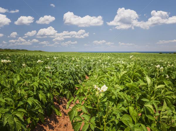 Papa campo isla del príncipe eduardo primer plano floración plantas Foto stock © elenaphoto