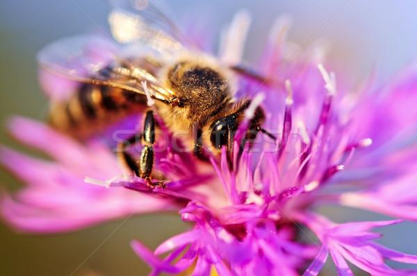 Stok fotoğraf: Bal · arısı · arı · kanatlar · bal · böcek