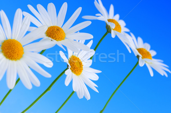 Daisy flowers on blue background Stock photo © elenaphoto