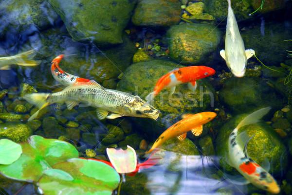 Koi étang poissons naturelles pierre eau Photo stock © elenaphoto