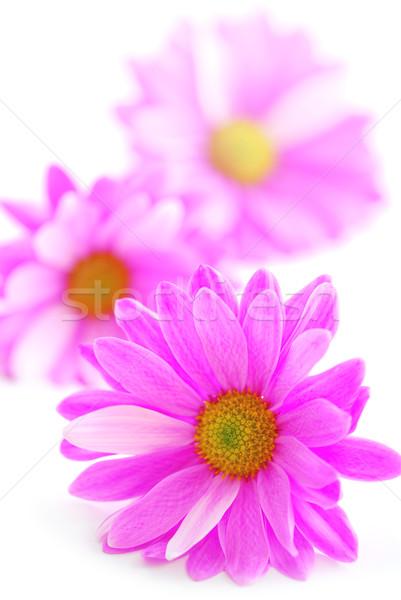 Stock fotó: Rózsaszín · virágok · közelkép · rózsaszín · virág · virágok · fehér